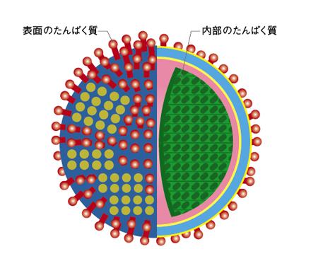 表面のたんぱく質はウィルスの種類によって形が異なり、変異もするのに対し、内部のたんぱく質は違う種類でも構造が同じで変異もしない<イラストは内田哲也氏の資料を基に編集部で作成>