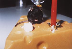 世界初の体細胞クローンマウス「キュムリーナ」。1歳の誕生日に、チーズにろうそくを立て祝福しているところ。なお、キュムリーナは2歳7か月まで生きた。人間でいうと100歳に当る