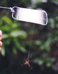 実験で使うクモの牽引糸を、コガネクモから巻き取る様子<画像提供:大�茂芳氏>