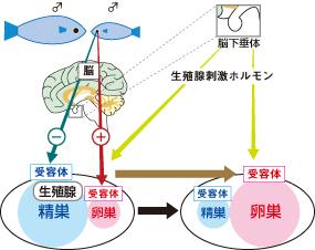 オキナワベニハゼの大きいオスと小さいオスを同じ水槽に入れると、小さいオスは大きいオスを見ることでメスに性転換する。小さいオスは視覚的な刺激を受けた後、脳下垂体から生殖腺を刺激するホルモンが分泌され、それが生殖腺の受容体に作用し、卵巣が肥大化することでメスに性転換する。このオスからメスへの性転換は約10日で完了する