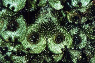 人家近くに多い「ジャゴケ」。円形の部分に無性芽が入っていて、無性生殖をする<写真提供:岩月善之助氏>