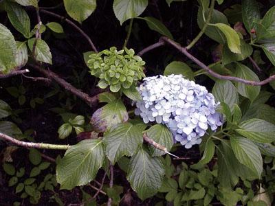 (写真左上)最近では、緑花のアジサイも、実は「ファイトプラズマ」が原因のアジサイ葉化病であることが分った。