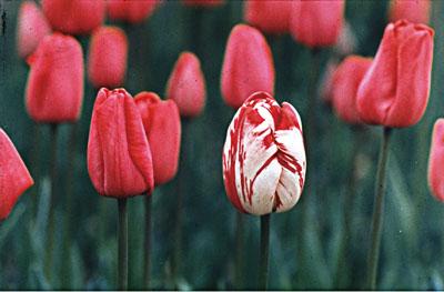 (写真右上)「ファイトプラズマ」に感染したチューリップ。花の色が絞り模様をつくり、変化している。見た目に美しいので、珍重されてきた。