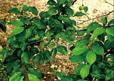 近年、世界中で大きな被害を及ぼしているウメ輪紋ウイルス病に感染したウメの葉。アブラムシの媒介や接ぎ木により、ウメ、モモ、スモモなどに感染する病気で、感染すると、葉に薄い緑色のドーナツ状の模様ができる。日本では2009年4月に、東京都青梅市のウメで初めて感染が確認された<写真提供:難波成任氏>