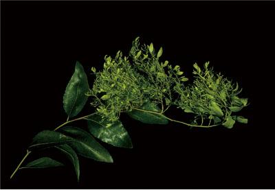 「天狗巣病」の症状が現れたナツメ。枝がほうき状に細かく枝分かれして鳥の巣のようになって枯れてしまう。