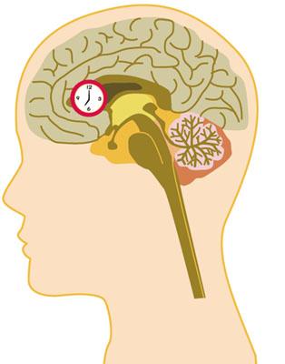 視交叉上核は、両目の網膜から視覚情報を伝える視神経が交差するところにある